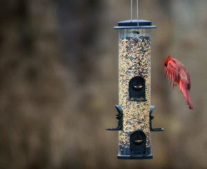 A male cardinal landing on a feeder
