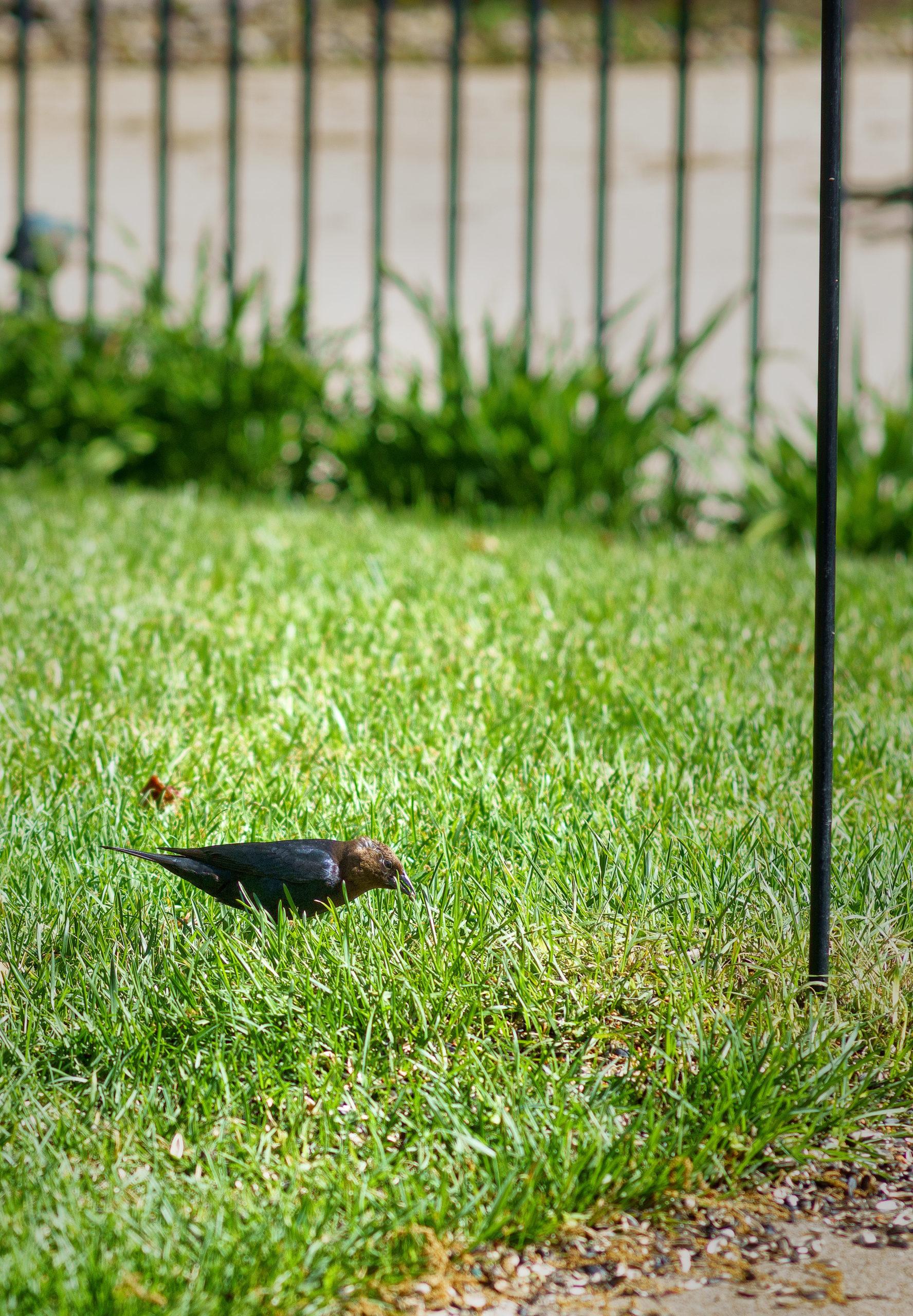 A black bird on grass