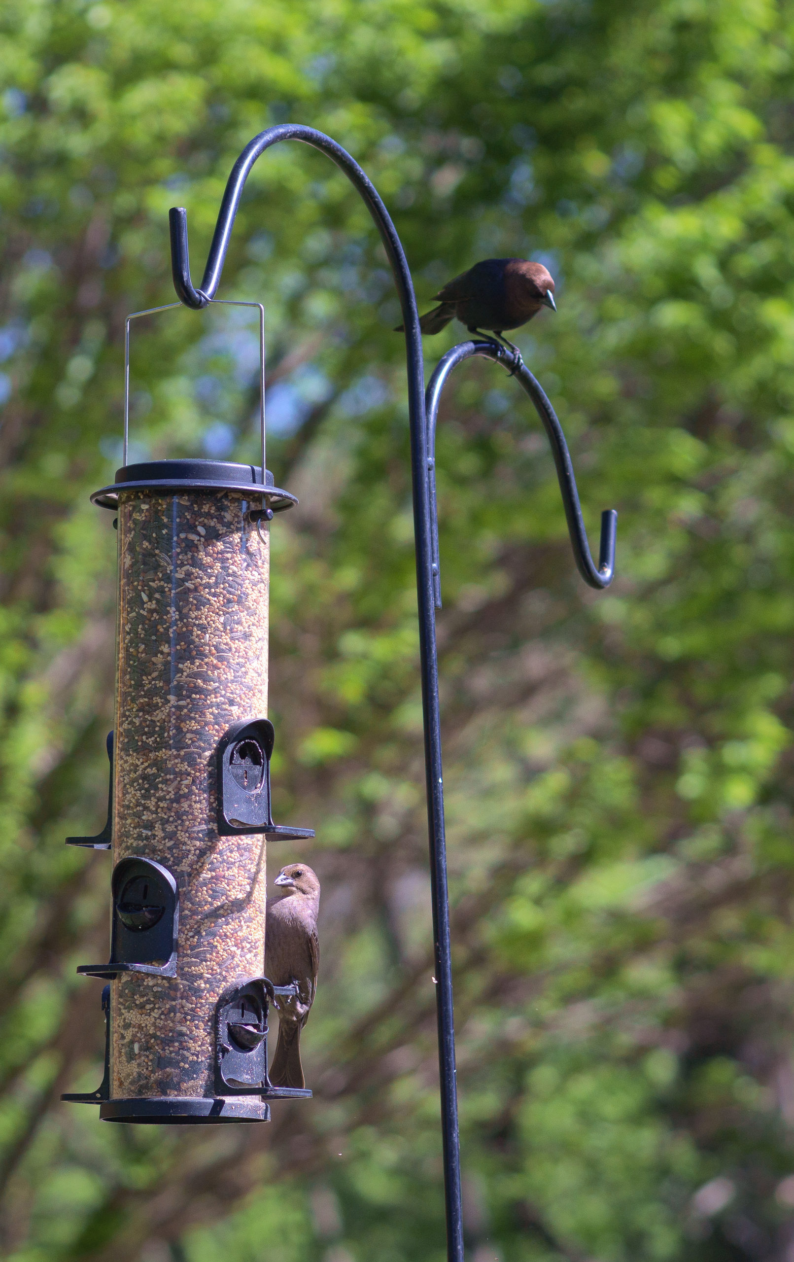 A brown bird on a hanging feeder and a black bird perched on top of the feeder