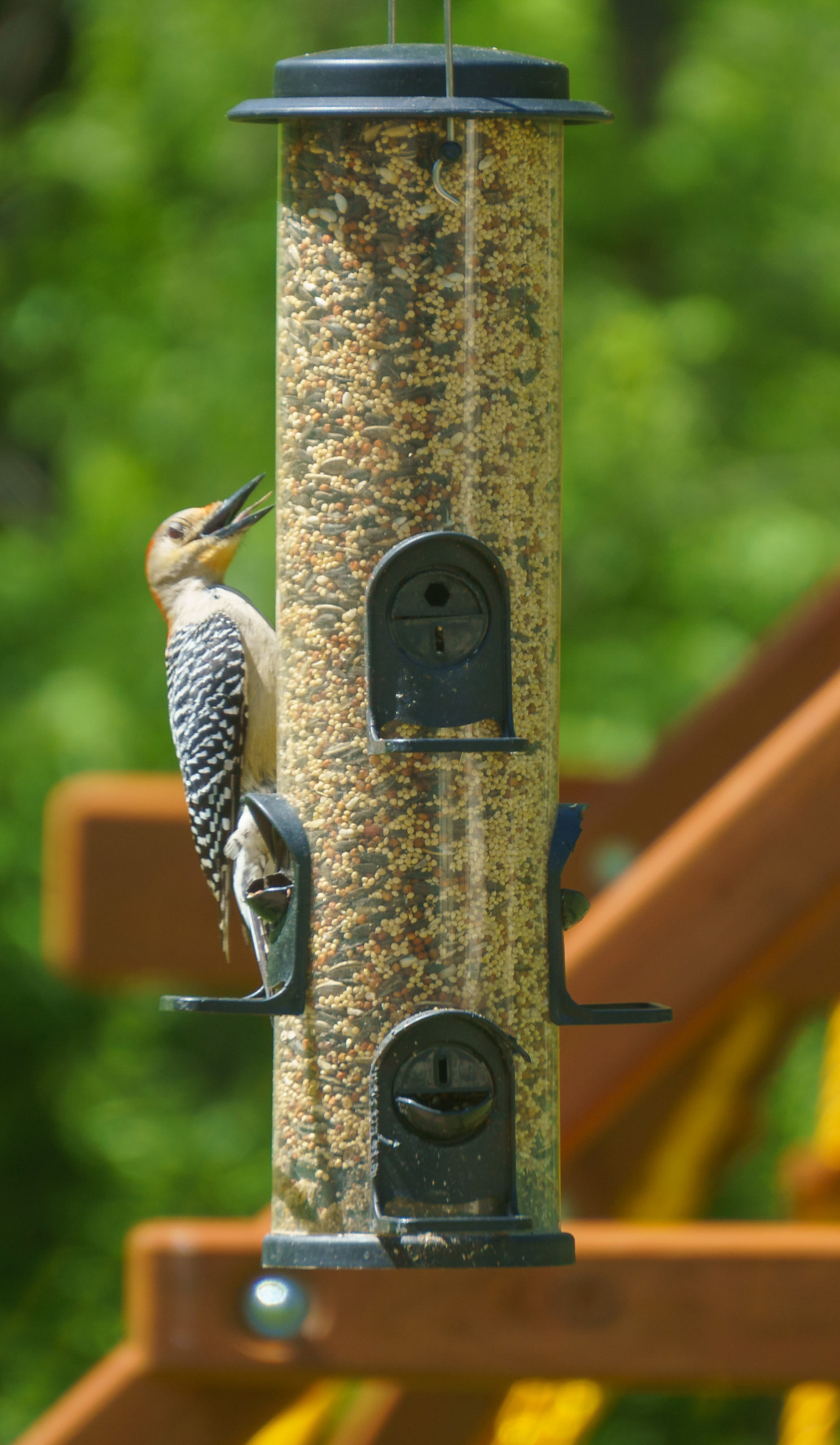 A woodpecker hanging on a feeder with its beak open, its tongue is visible