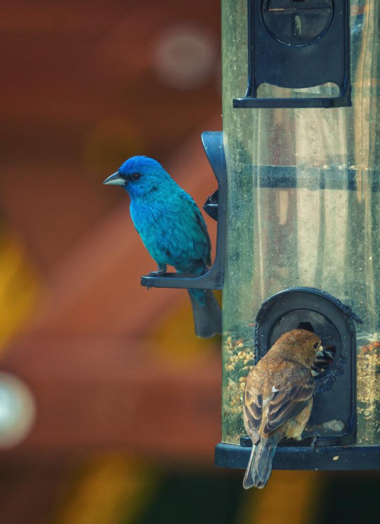 An indigo bunting and a sparrow on a birdfeeder.