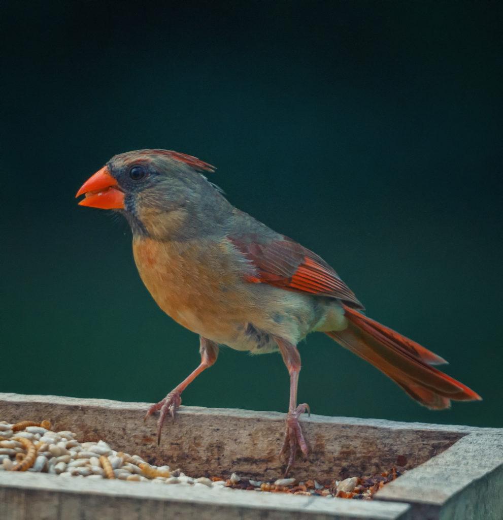 A female cardinal on a feeder.
