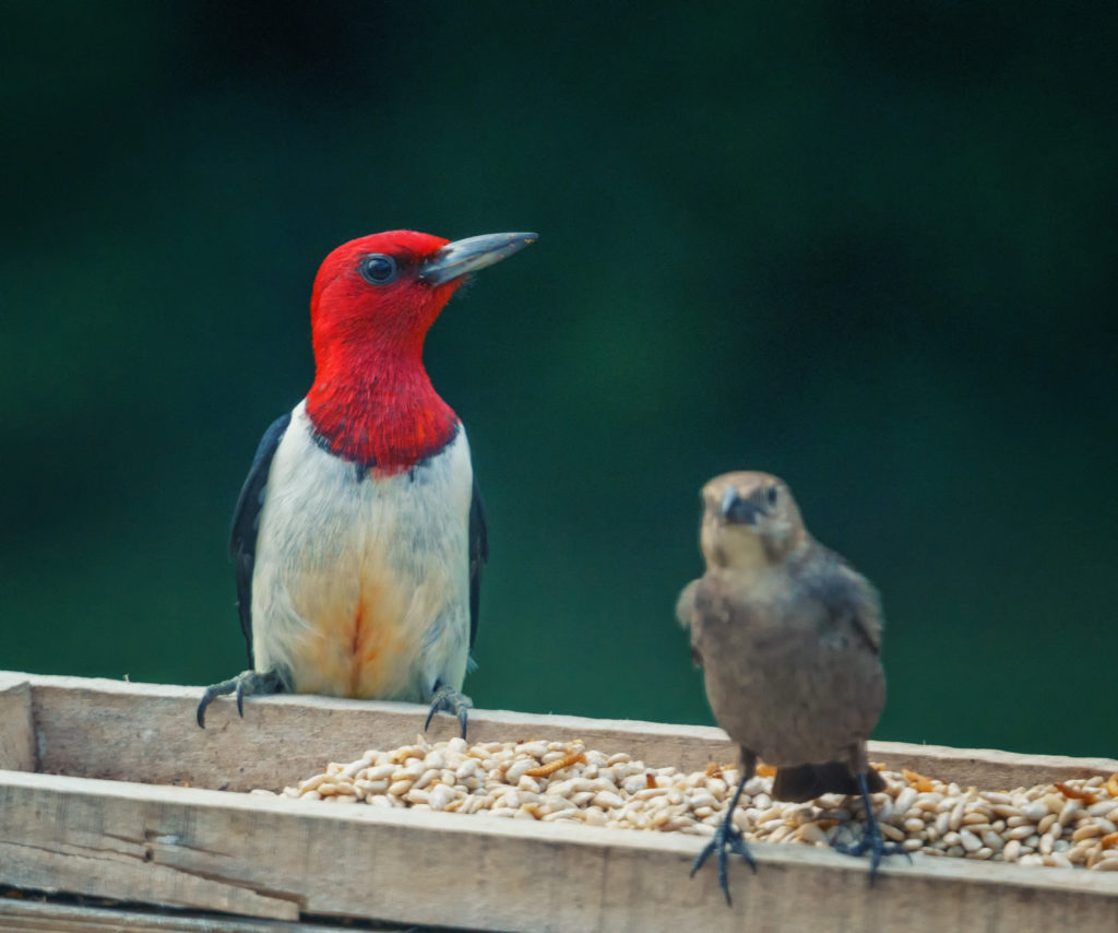 A red-headed woodpecker and another bird on a feeder.