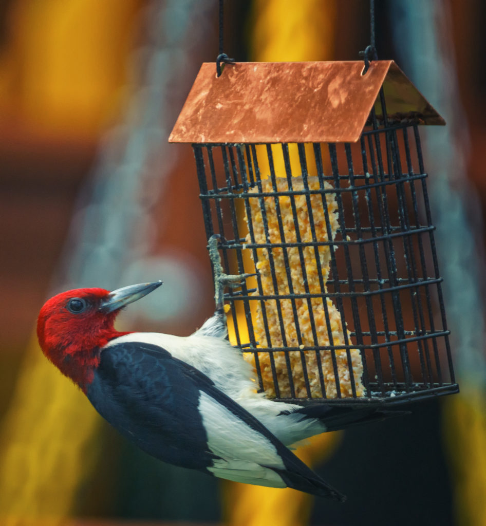 A red-headed woodpecker clinging to a suet feeder.