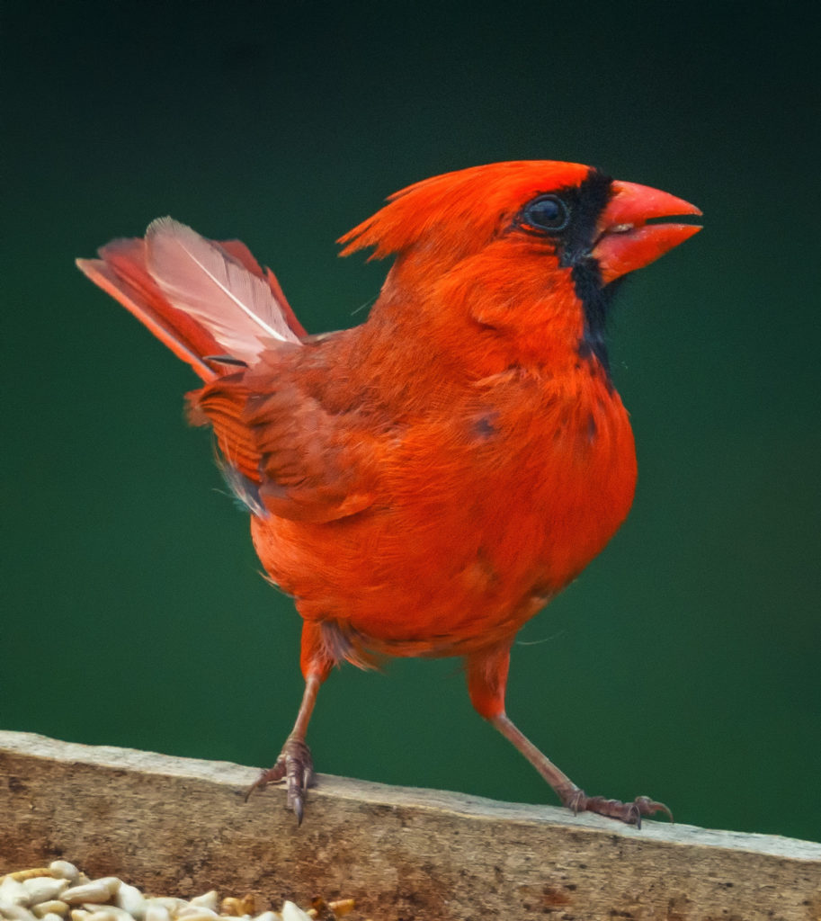 A male cardinal on a feeder.