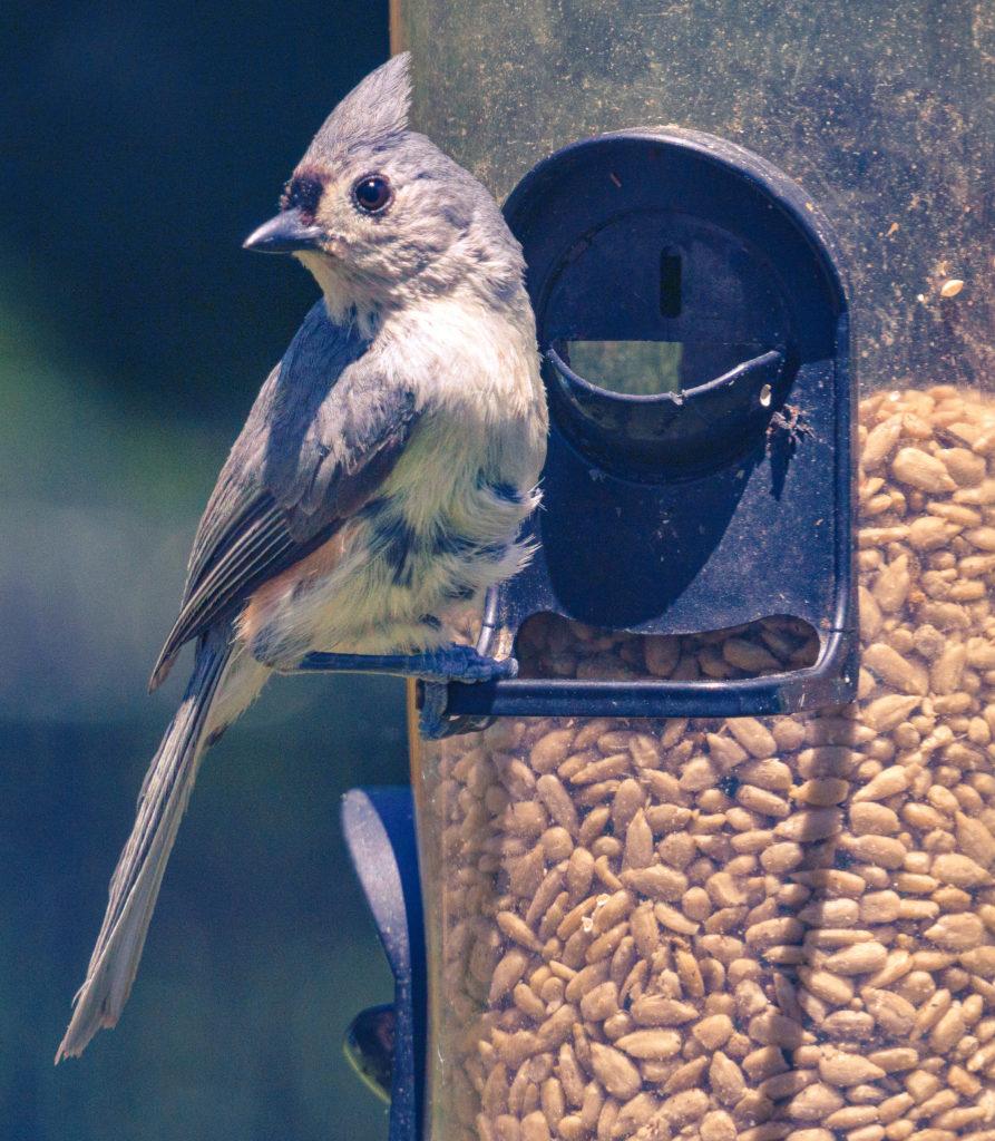 A tufted titmouse sitting on a birdfeeder