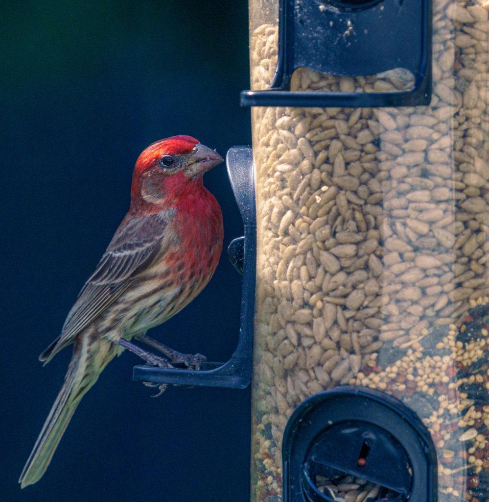 A house finch sitting at a bird feeder.