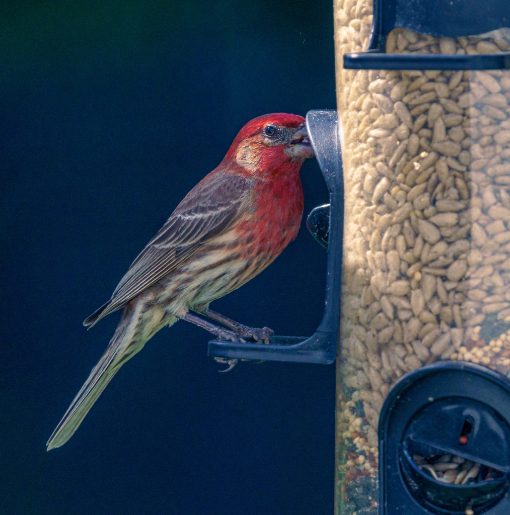 A house finch eating from a bird feeder.