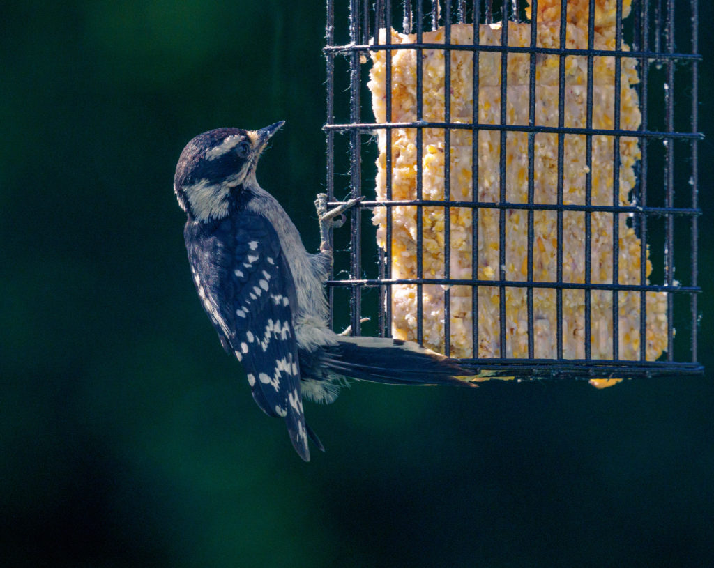 A downy woodpecker hanging on a suet feeder.