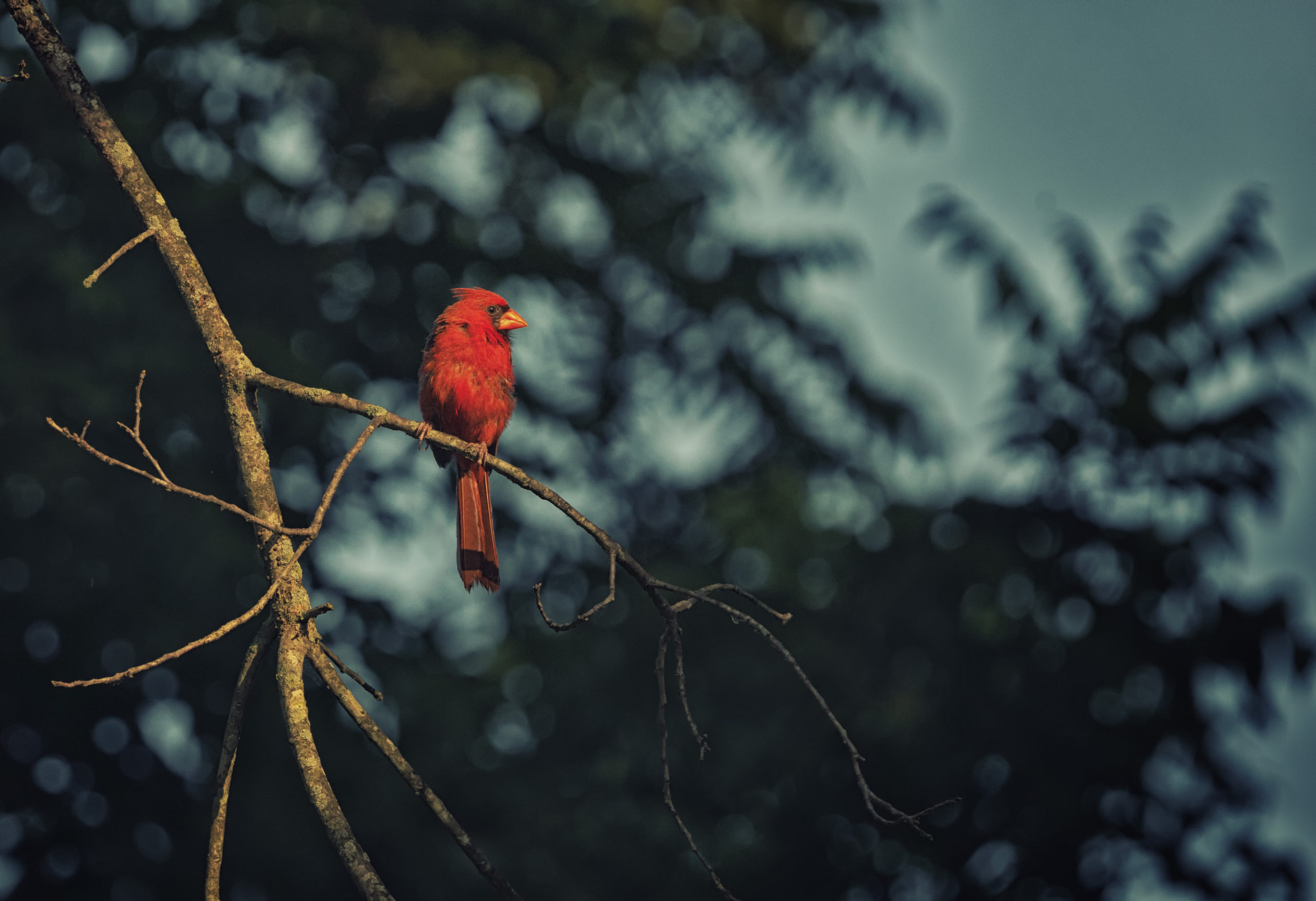 A male cardinal sits on a tree branch. Out of focus leaves are in the sky in the background.