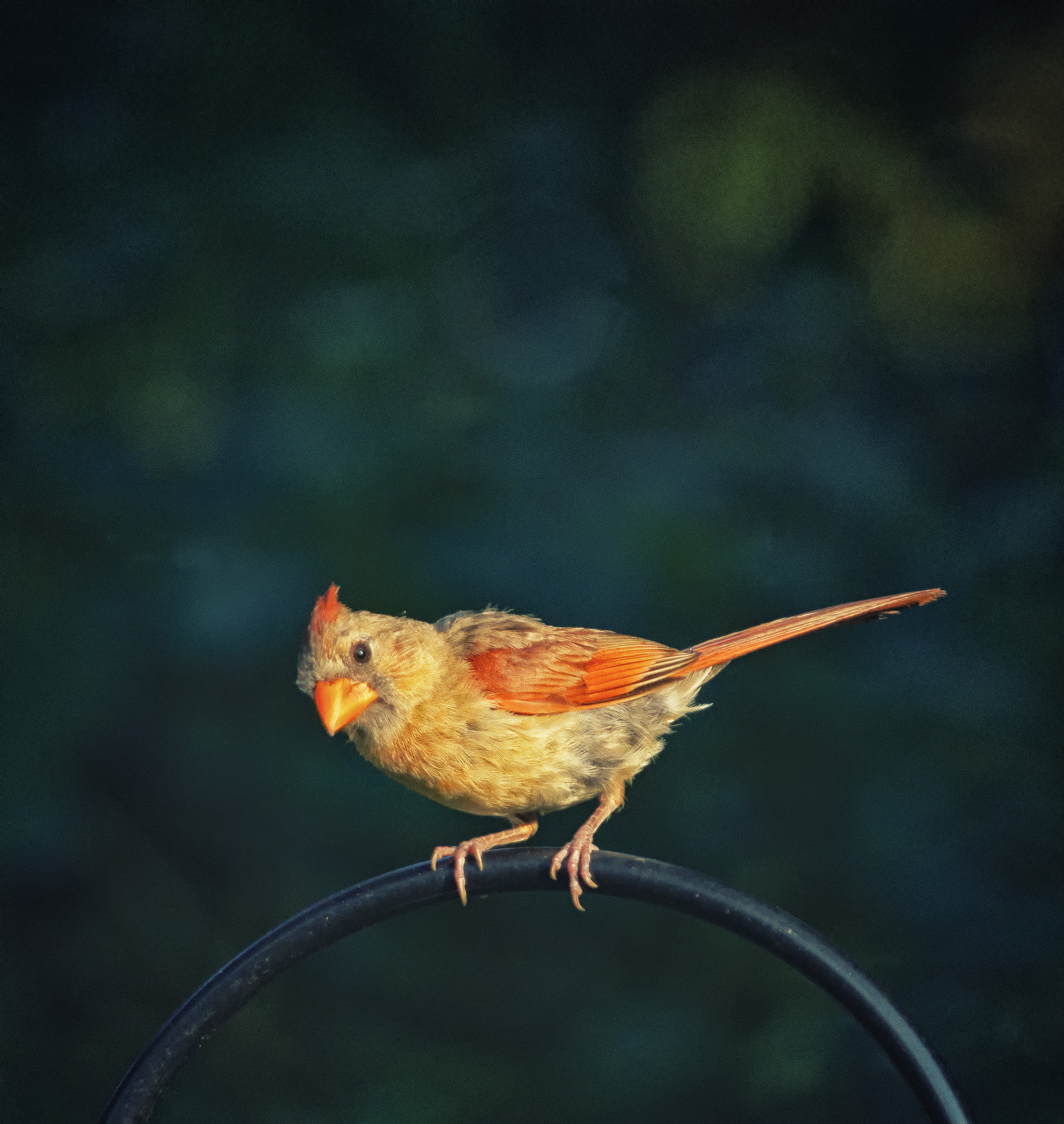 A female cardinal perches on an iron rod.