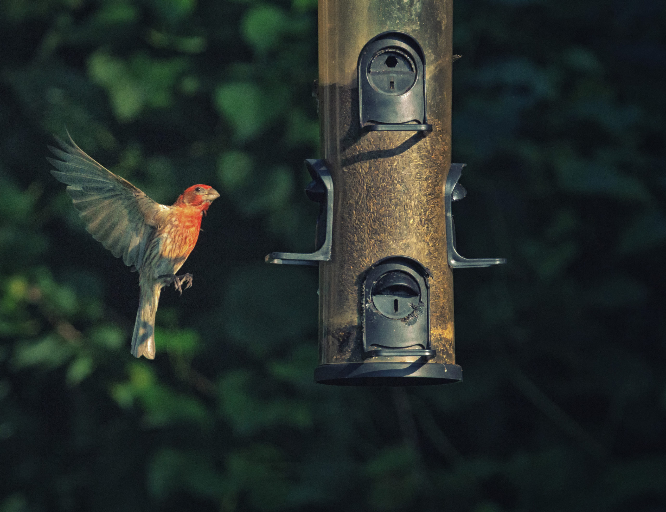 A house finch hovers near a tube feeder.