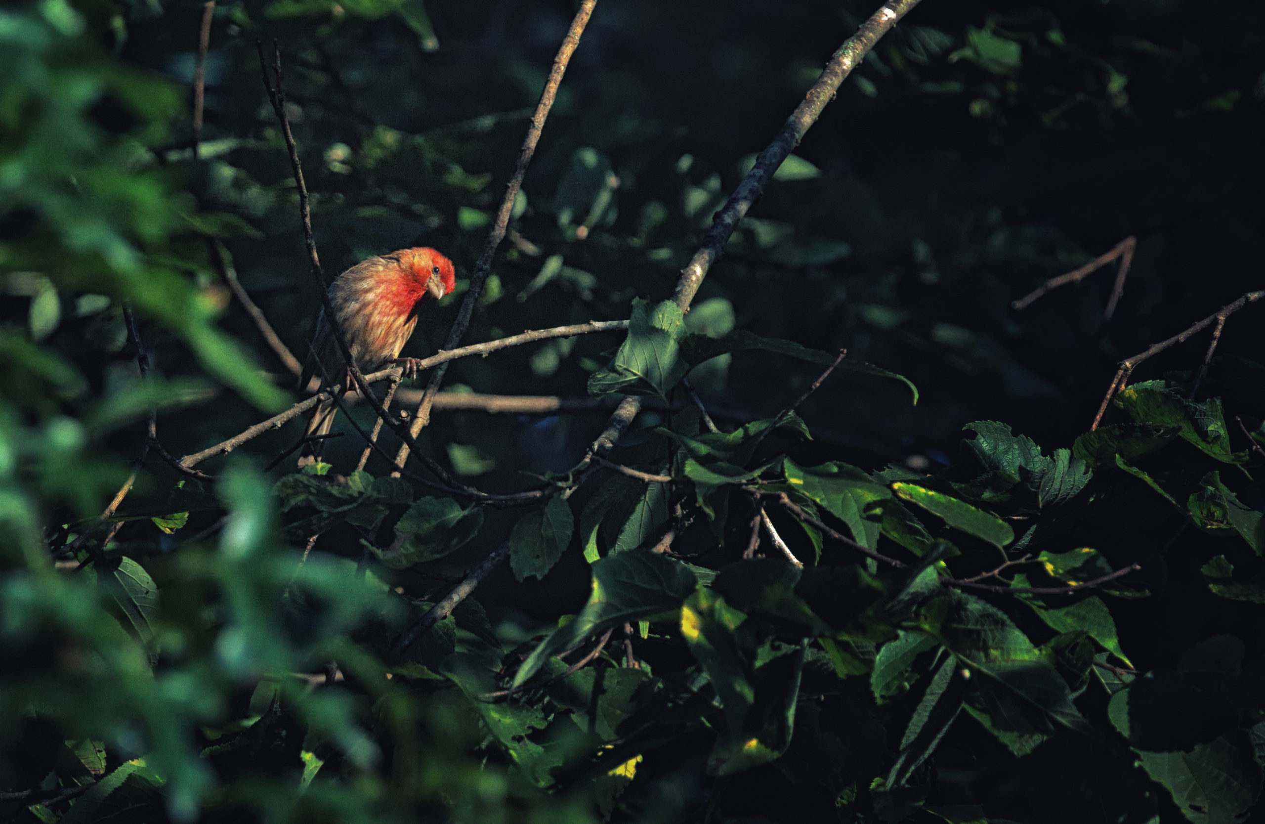 A house finch sits on a tree branch, surrounded by leaves.