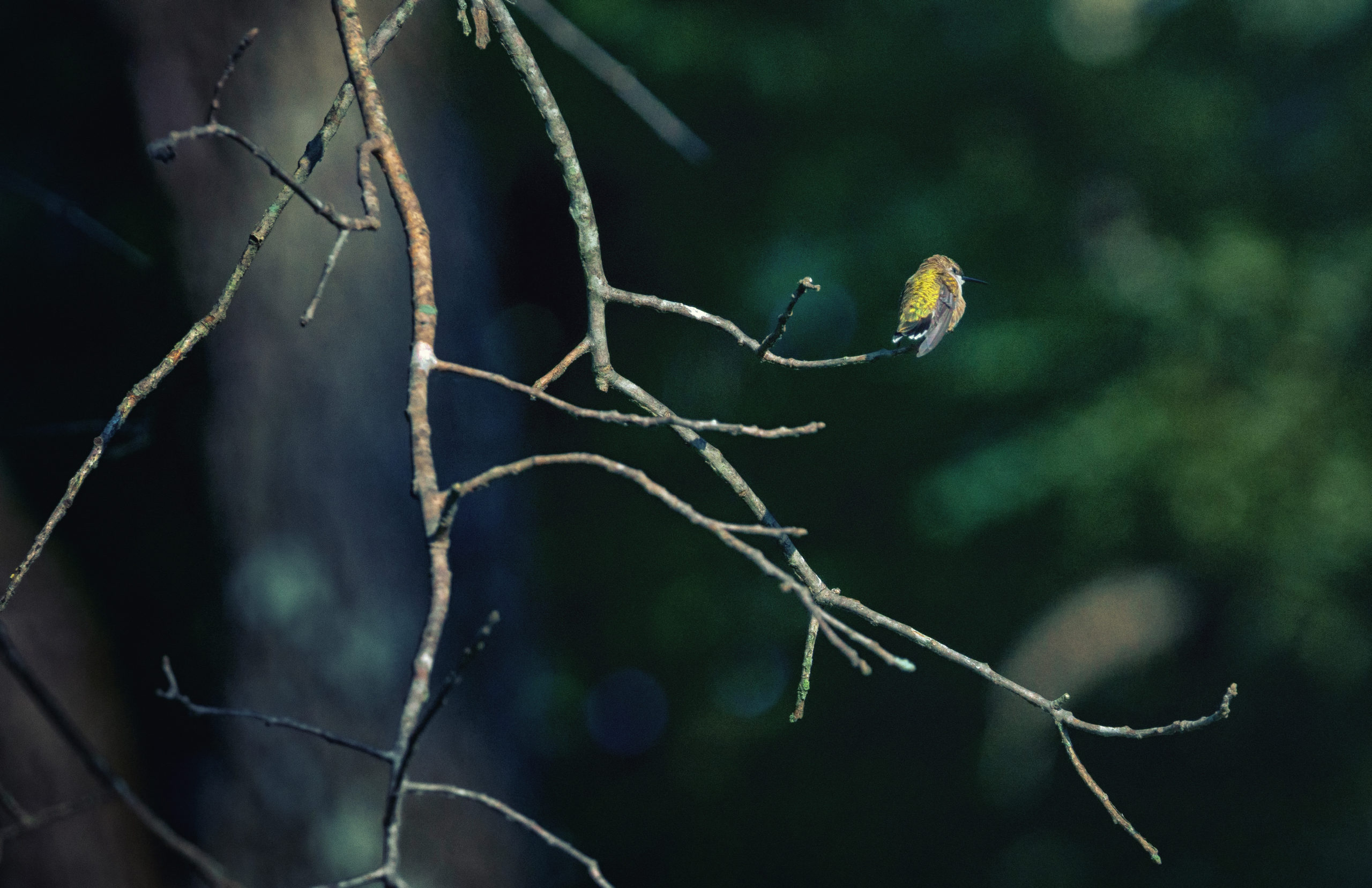 A hummingbird with a shiny lime green back sits on a tree branch.