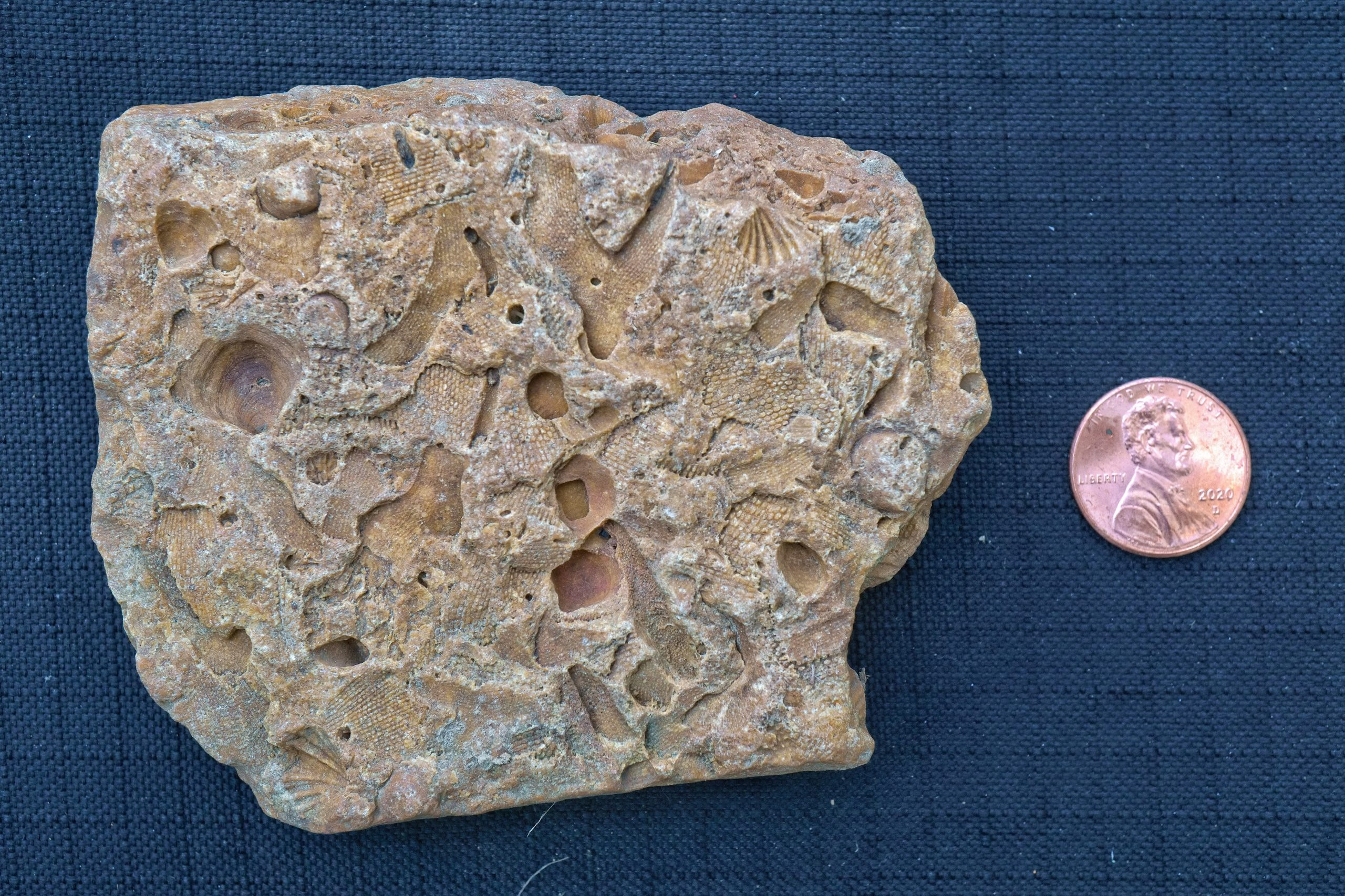 A rock with lots of different fossil impressions, next to a penny for scale. The rock is about four times as tall as the penny and five or six times as wide.