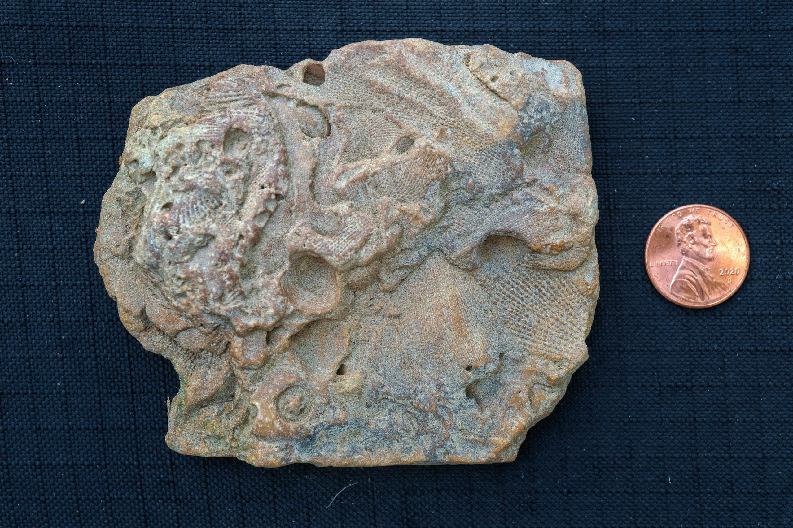 A rock with lots of different fossil impressions, next to a penny for scale. The rock is about four times as tall as the penny and five or six times as wide. The opposite side of the rock in the previous photo.