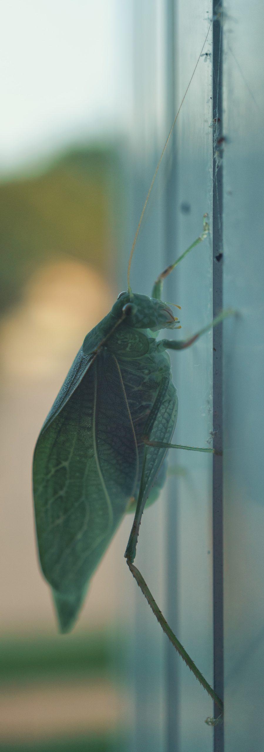 Katydid in profile