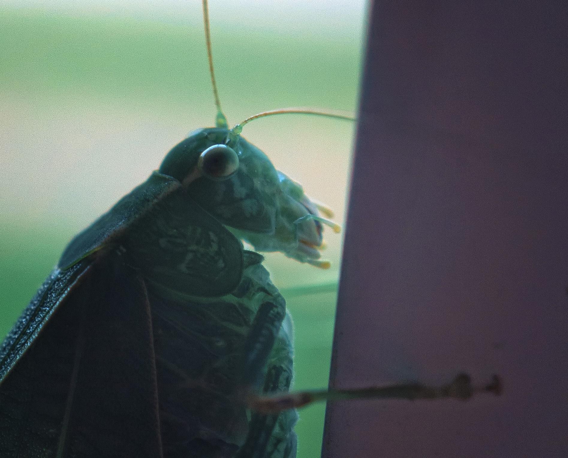 Closeup of katydid
