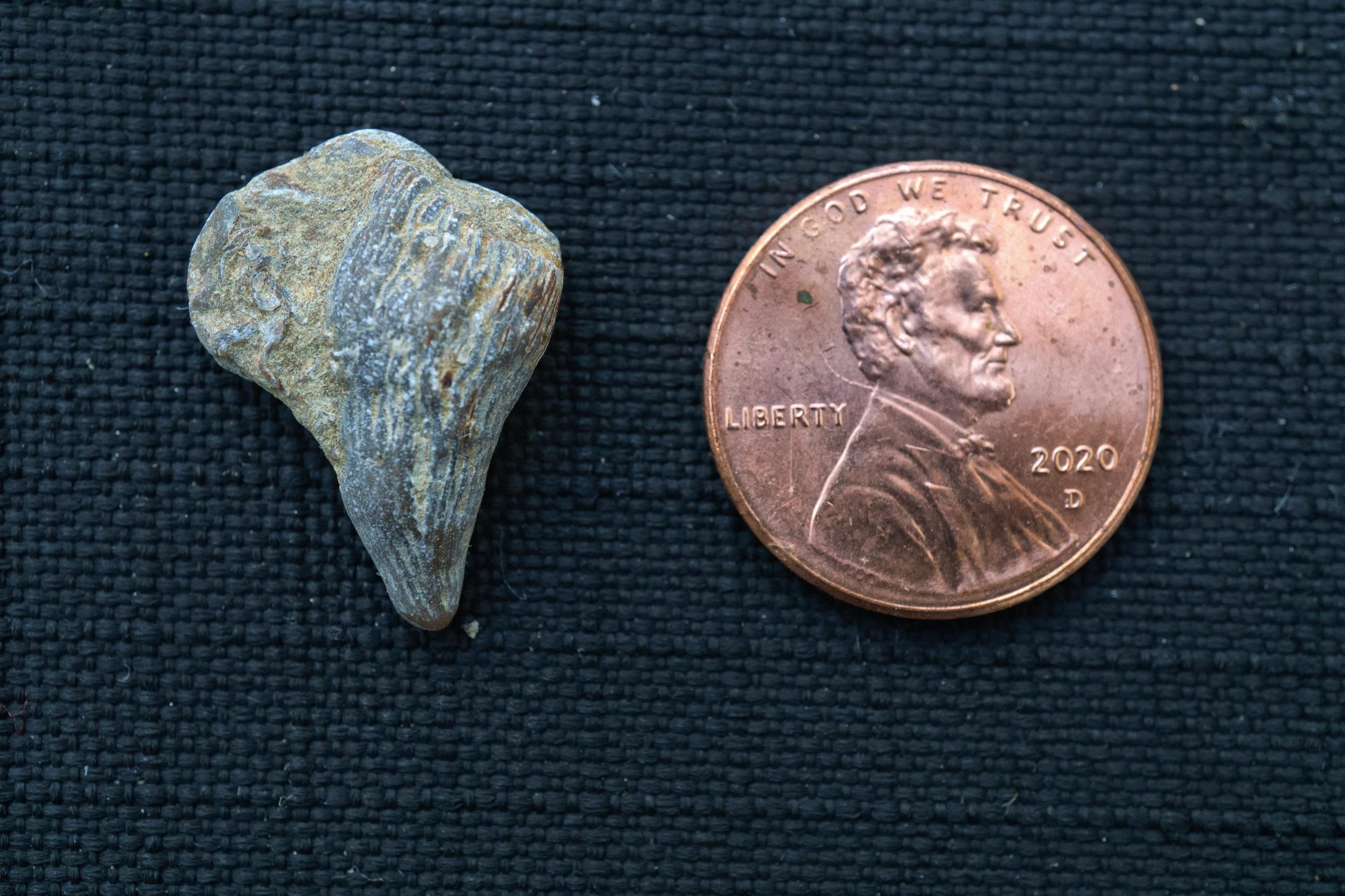 A tooth-shaped rock next to a penny for scale. The rock is about the size of the penny.