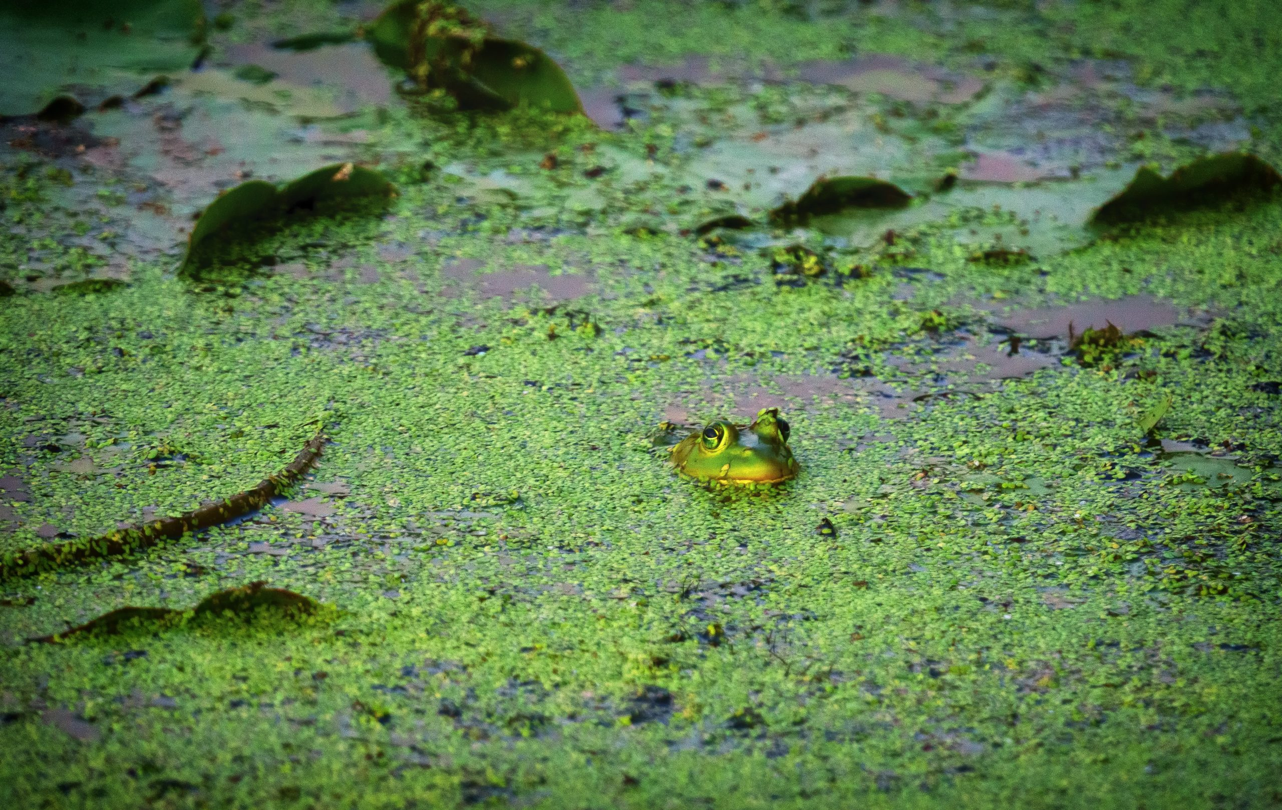A frog pokes its head out of a mossy wetland.
