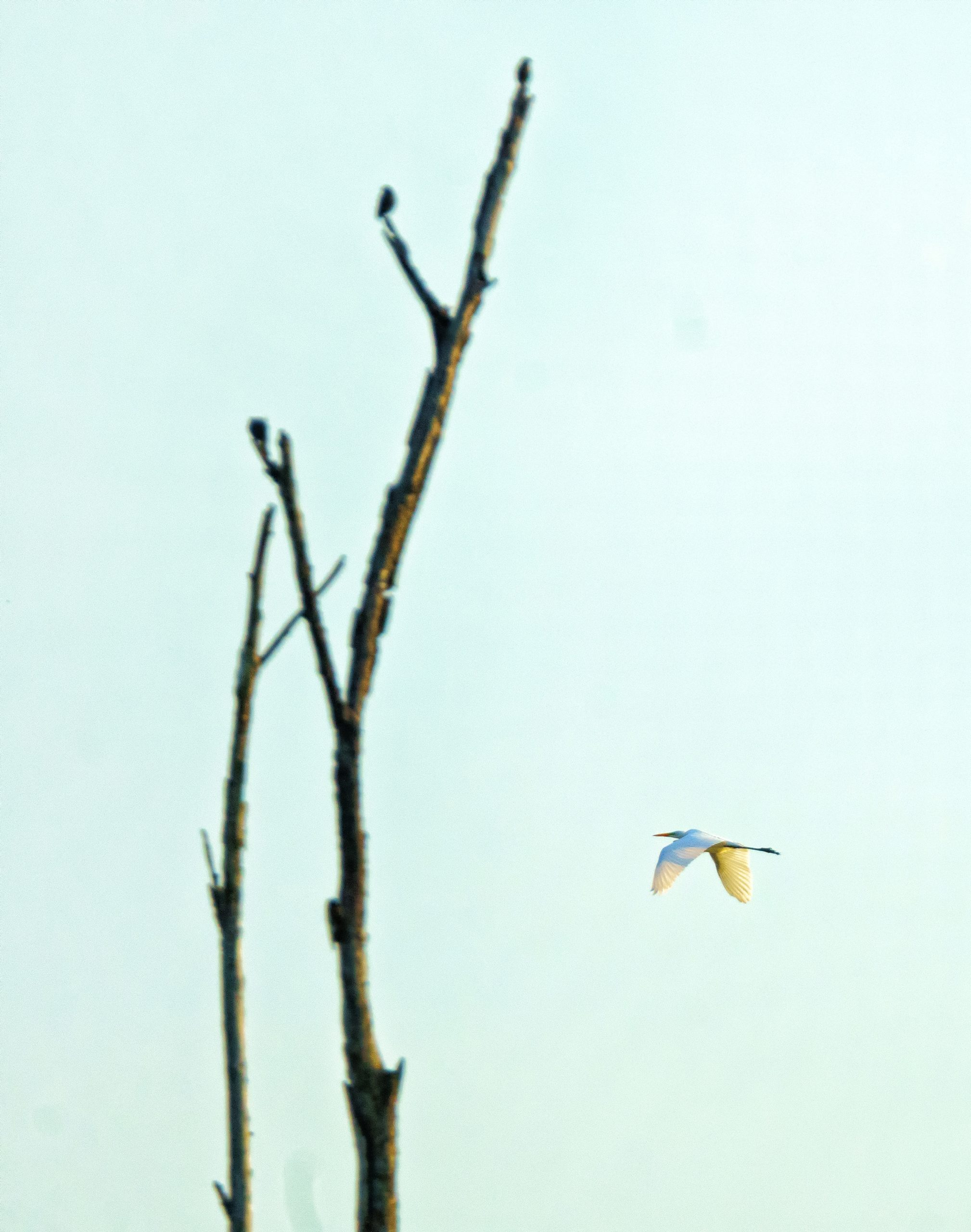 A large white bird flies right to left. An out-of-focus tree is to the left of the frame.