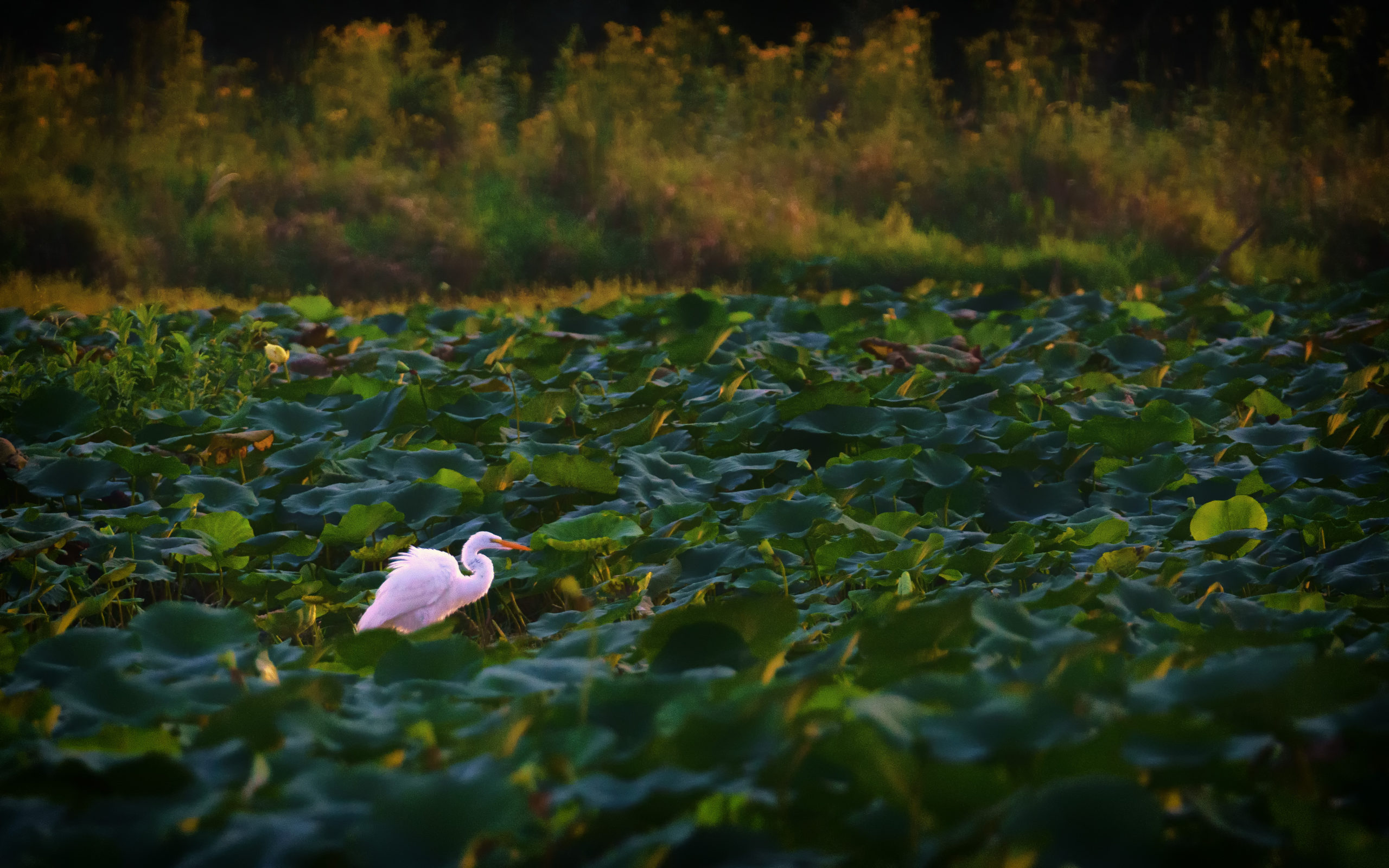 A white bird stands in a wetland.